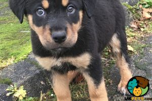 Rottweiler For Sale in Lodon