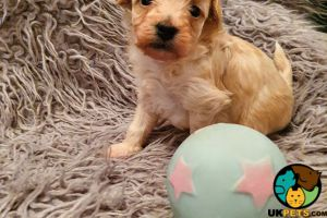 Maltipoo for Rehoming