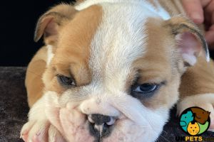 English Bulldogs for Rehoming