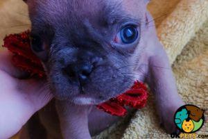 French Bulldog Cats Breed