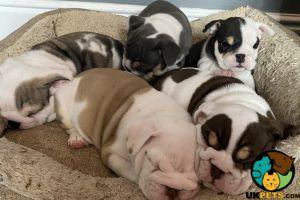 Bulldog Advertisement UK Pets