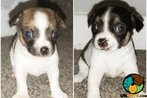 Mixed Breed For Sale in Great Britain