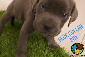 Cane Corso For Sale in Lodon