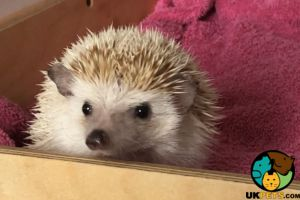 Pygmy Hedgehog For Sale in the UK