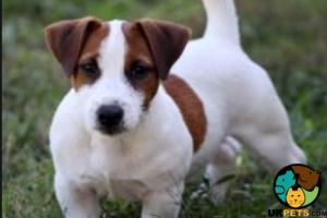Jack Russell Advertisement UK Pets