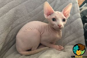 Sphynx for Rehoming