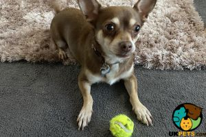 Chihuahua For Stud in the UK