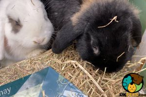 Mini Lop For Sale in the UK