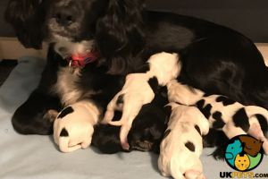 Cute Sprocker For Sale