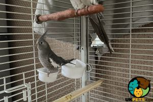 Cockatiel for Rehoming