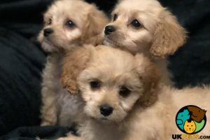 Cavachon For Sale in Lodon