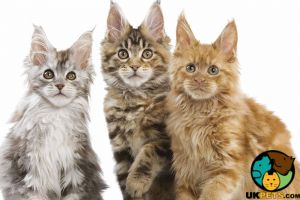 Maine Coon Wanted in the UK