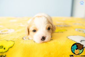 Cavachons for Rehoming