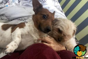 Jack Russell Wanted in the UK