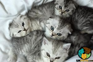 Scottish Folds For Sale