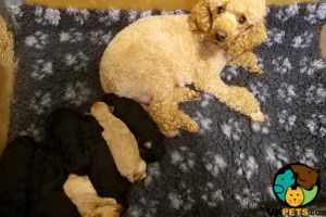 Available Poodles