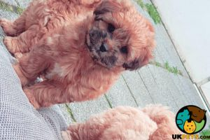 Shih-poo For Sale in the UK