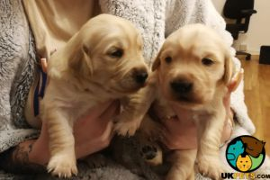 Golden Retriever For Sale in Great Britain