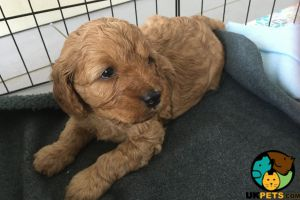 Cavapoo Online Listings