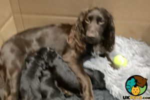 Sprocker For Sale in the UK