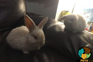 Mini Lop for Rehoming