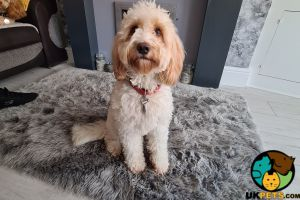Cockapoo For Stud in the UK