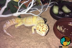 Available Geckos
