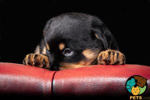 Rottweiler Online Listings