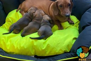 Dachshund For Sale in Lodon