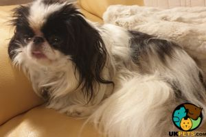 Japanese Chin Wanted in Great Britain