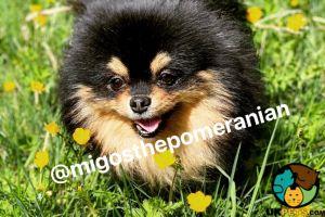 Pomeranian For Stud in Lodon