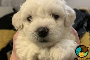Bichon Frise For Sale in Lodon