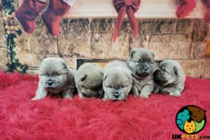 Chow Chow Online Ad