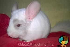 Chinchillas for Rehoming