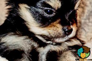 Pomchi Advertisement UK Pets