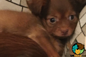 Russian Toy Terrier For Sale in the UK