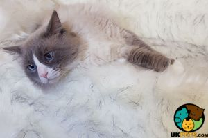 Ragdoll For Stud in Great Britain