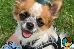 Chihuahua Dogs Breed