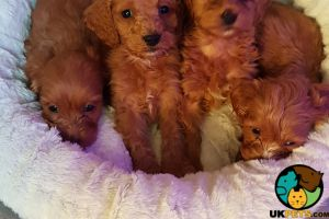 Cockapoo For Sale in Great Britain
