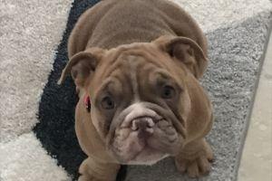 Bulldog Online Ad