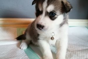 Siberian Husky For Sale in Great Britain