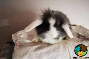 Lionhead for Rehoming