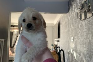 Labradoodle For Sale in the UK