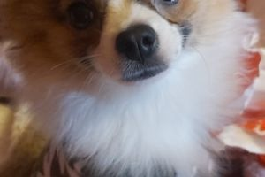Pomeranian For Stud in the UK