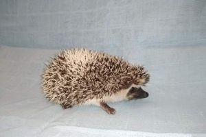 Pygmy Hedgehog For Sale in Lodon