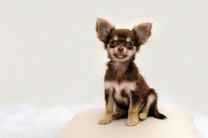 Cute Chihuahua Wanted