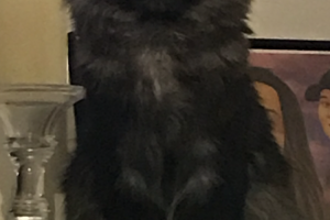 Maine Coon for Rehoming