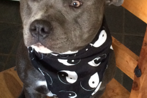Staffordshire Bull Terriers for Rehoming
