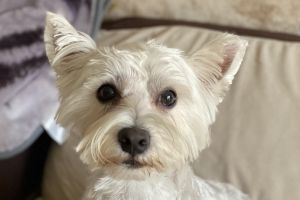 Cute West Highland Terrier For Stud