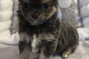 Chihuahua Online Listings
